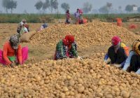 किसानों के एक करोड़ रुपये लेकर ठग हुए फरार, आलू ख़रीदे पर पैसे नहीं दिए